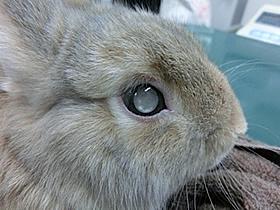 白内障のうさぎさんの目