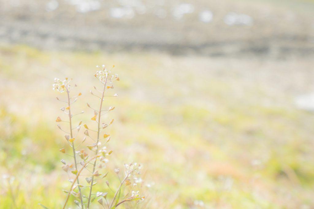 ぺんぺん草の草原