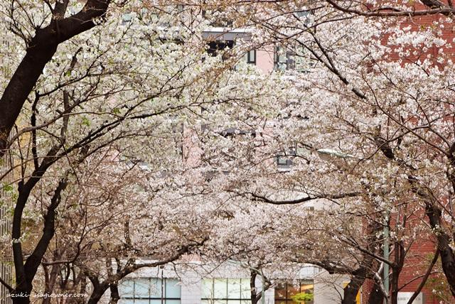 勤務先の近くでさいた、桜の花