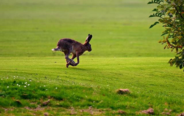 走る野ウサギの画像