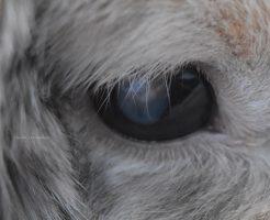 白内障のうさぎの目アップ2