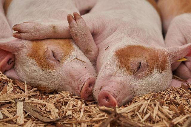 秋山農園イメージ:すやすや寝てる子豚