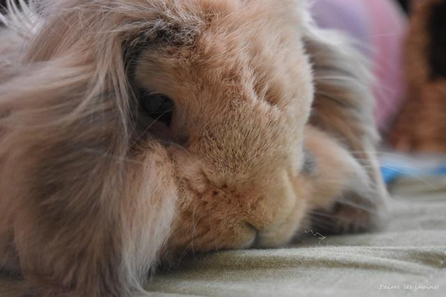 ライオンウサギのアップ