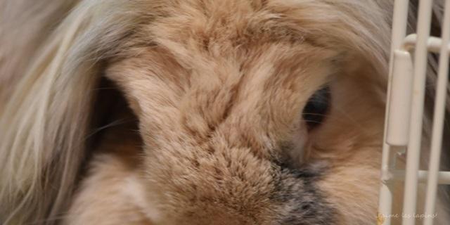 【うさぎの白内障】ウチの虎はもう見えてないんです。