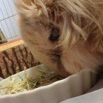 シニアウサギにシニア用ラビットフードは必要無い