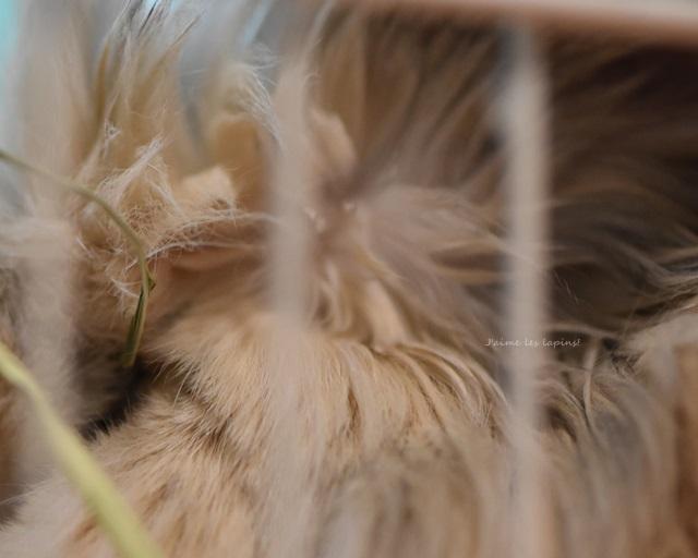 ロップイヤーラビットが耳を立てて寝ている