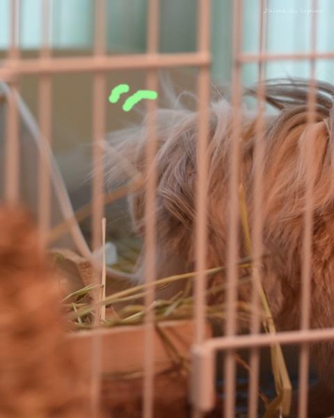 ロップイヤーラビットが起きて牧草を食べている