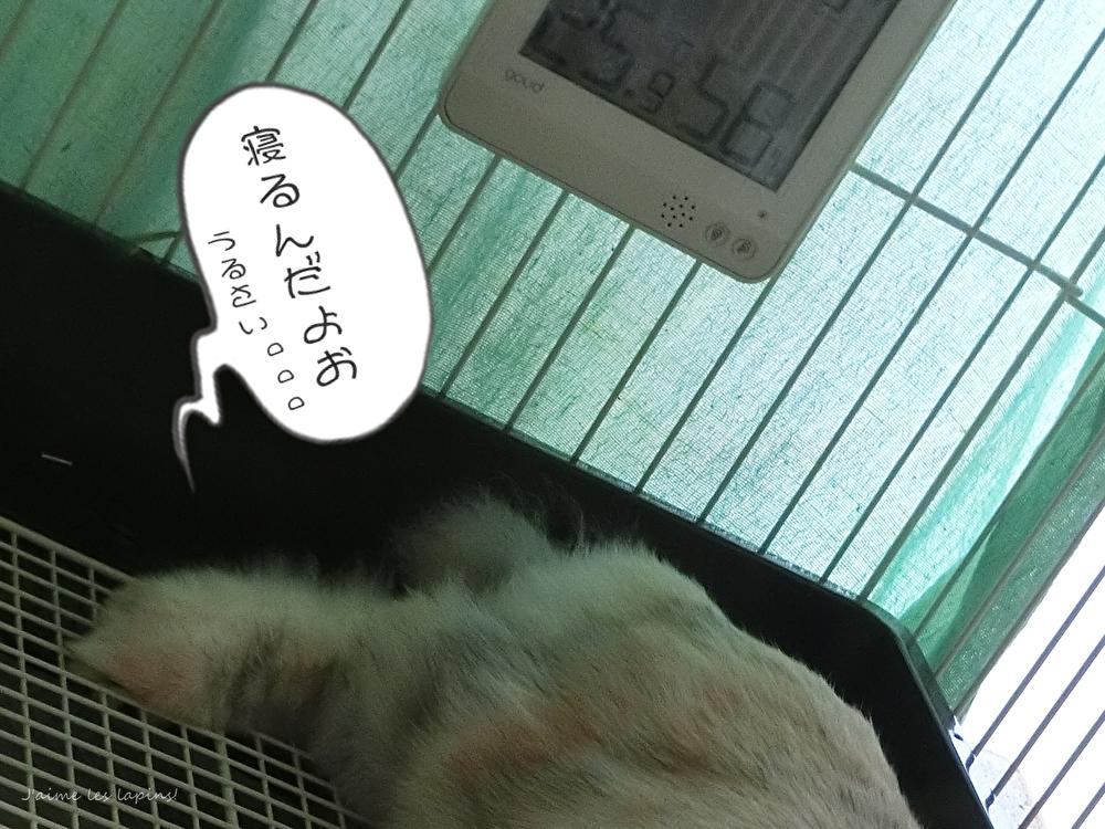 シニアウサギの虎次郎お昼寝