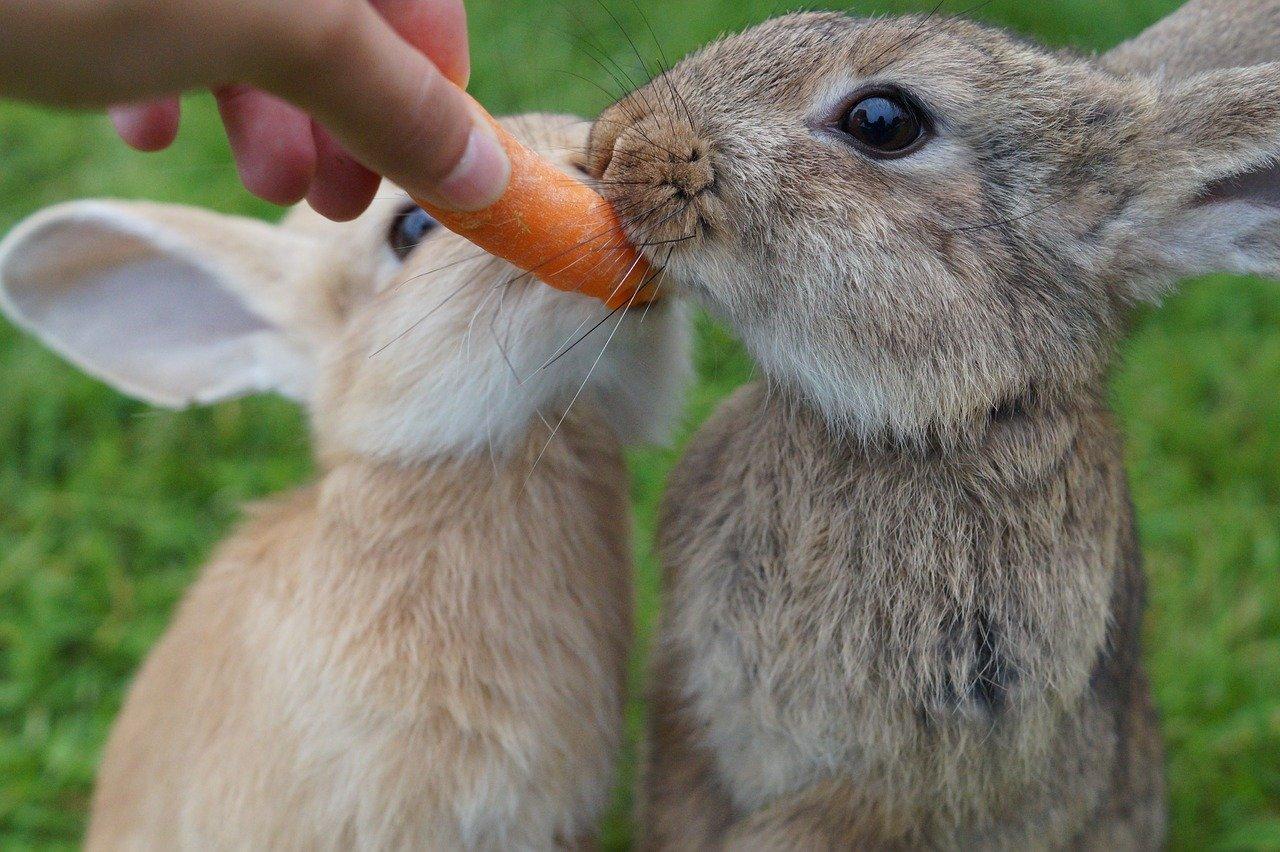 うさぎに与えてよい野菜