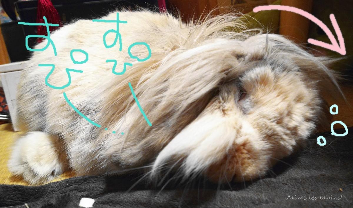 倒れそうな角度で寝てるホーランドロップ