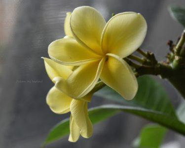 うさぎに危ない草花「プルメリア」