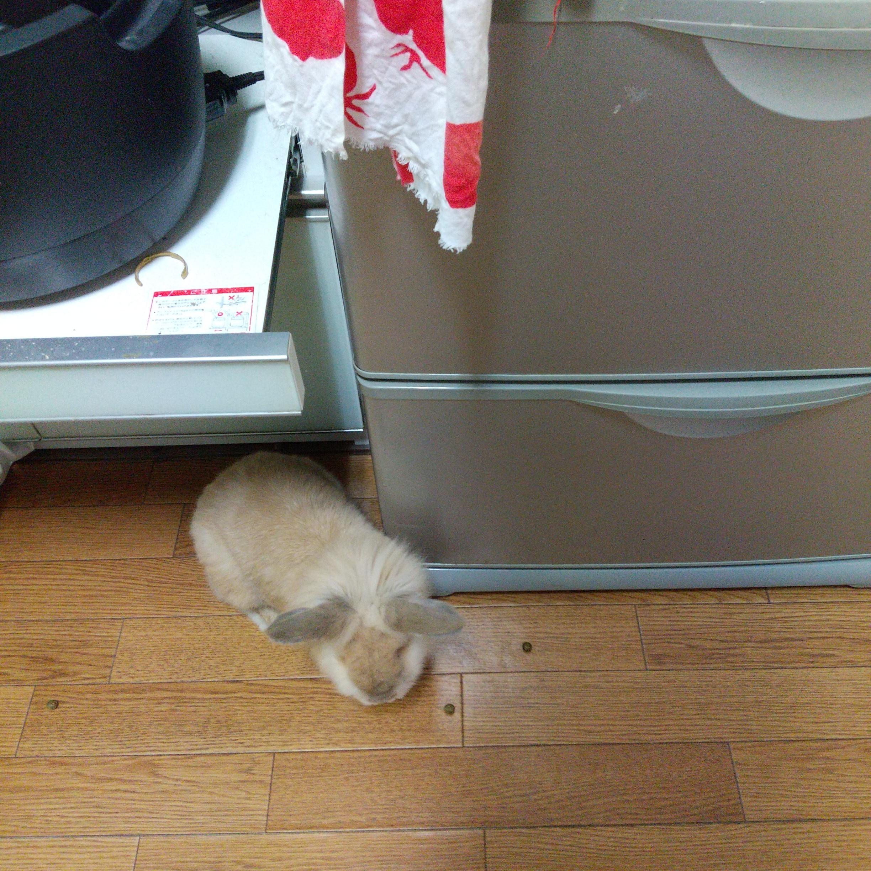 キッチンで部屋んぽするうさぎ