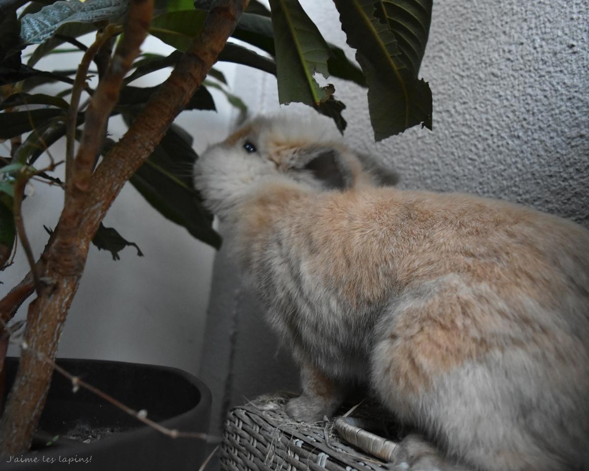 枇杷の葉っぱを食べるうさぎ