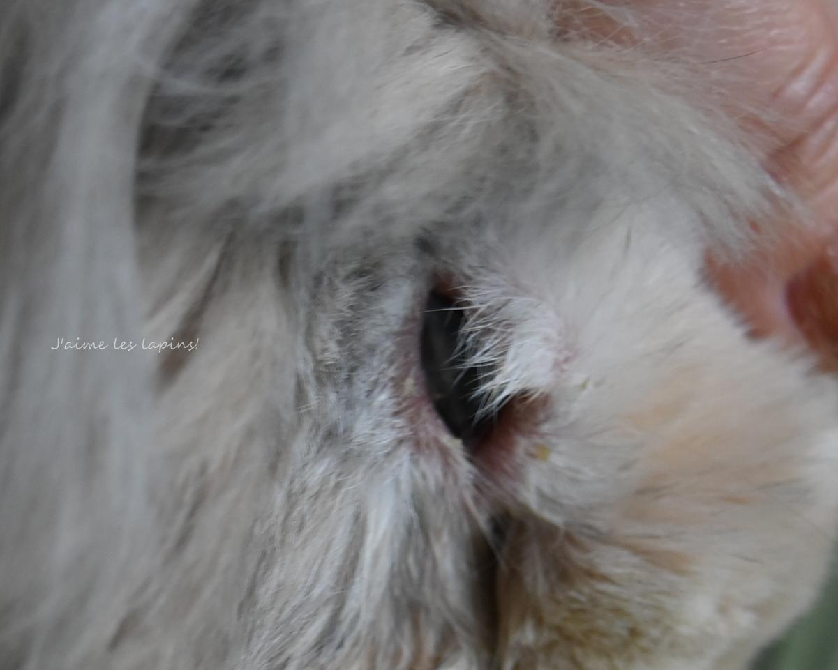 結膜炎の治療後のうさぎの右目