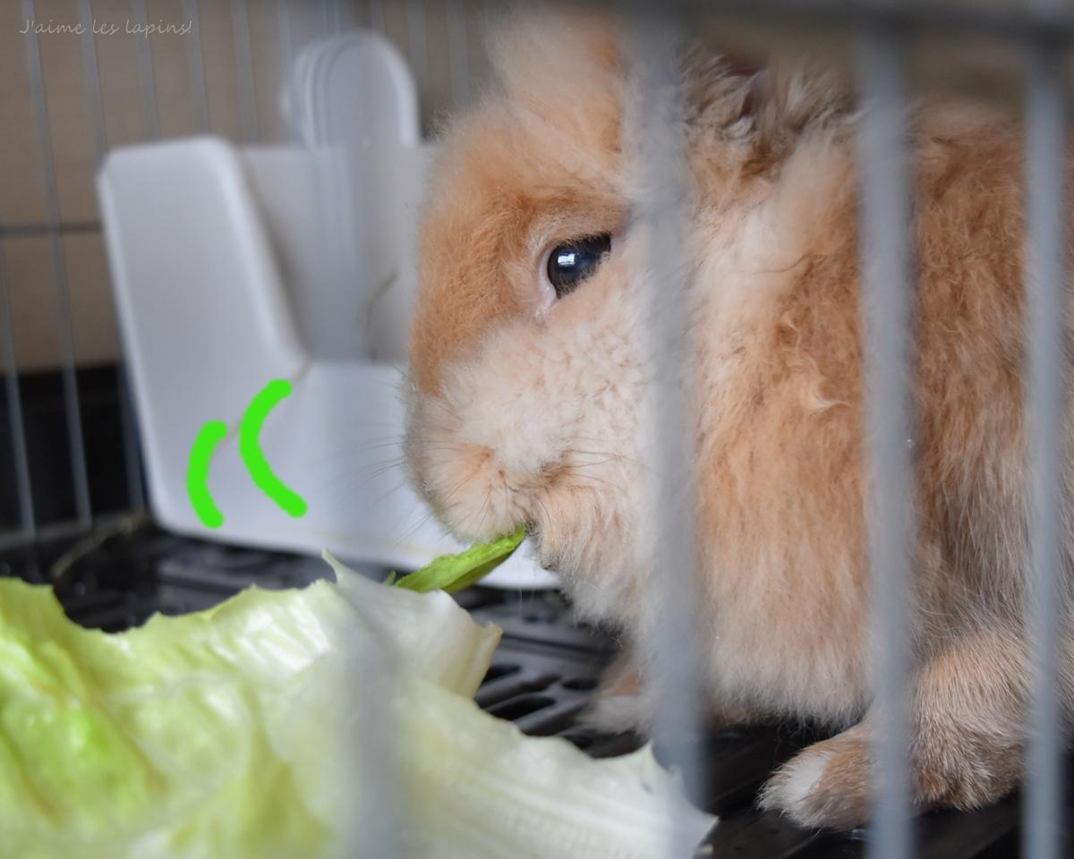 ロメインレタスを食べるうさぎ