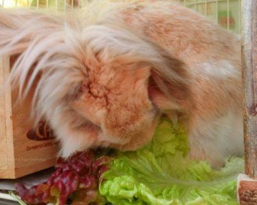 うさぎに与えて良い野菜「サニーレタス」