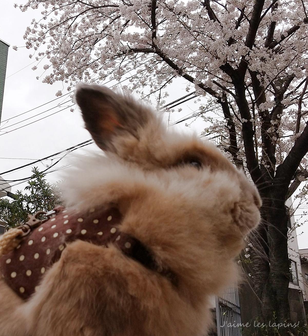 桜とうさぎ