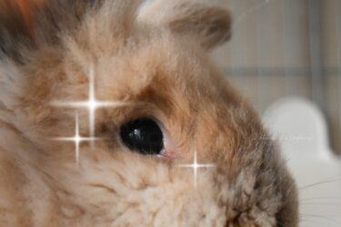 炎症が治ってきたウサギの目