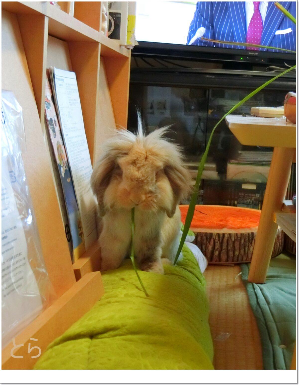 生前の3代目ウサギ
