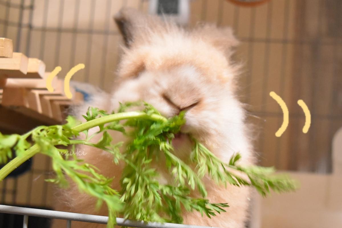 ニンジンの葉を食べるうさぎ