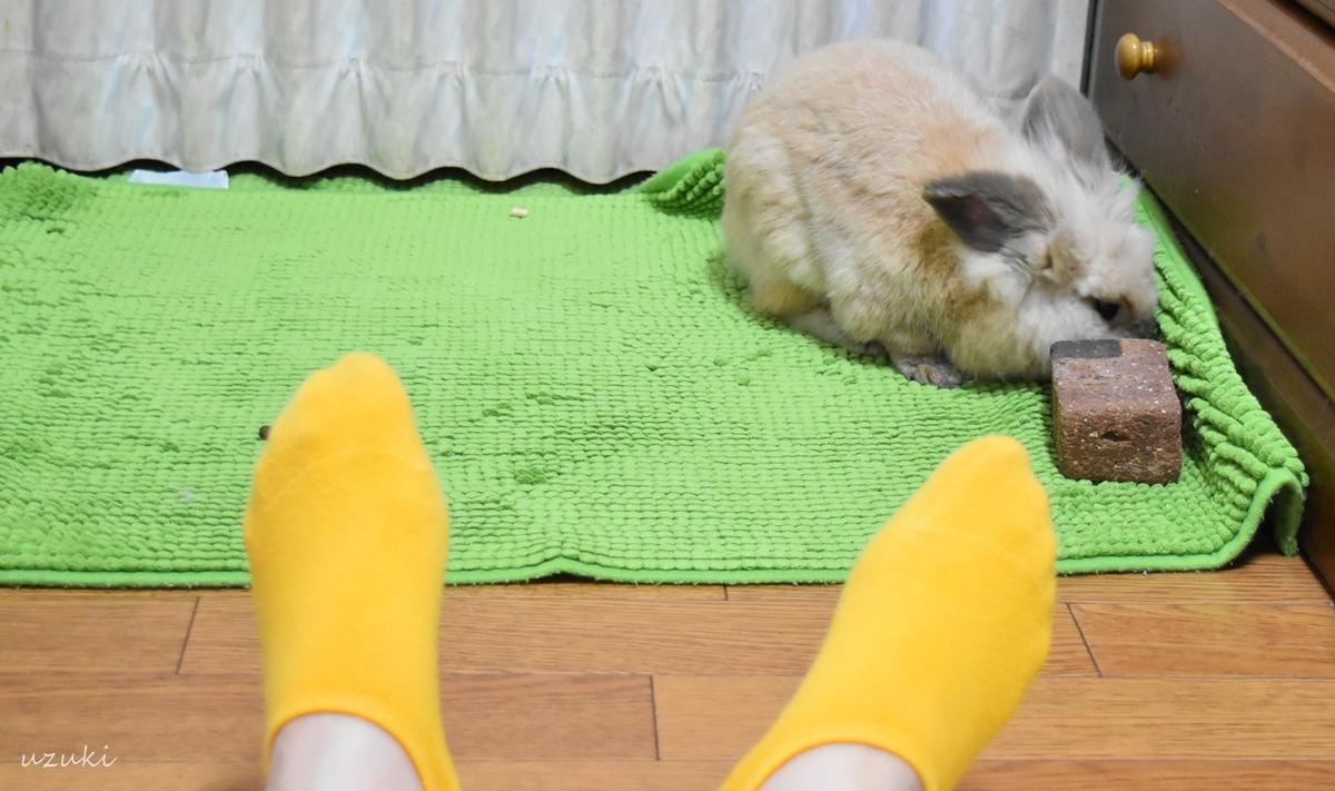 部屋んぽするうさぎの小二郎と飼い主の足